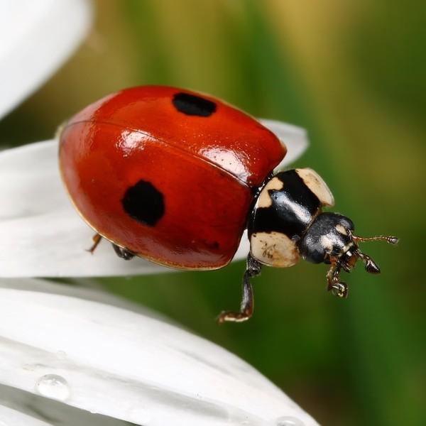 50-larves-de-coccinelles-anti-pucerons-adalia-bipunctata