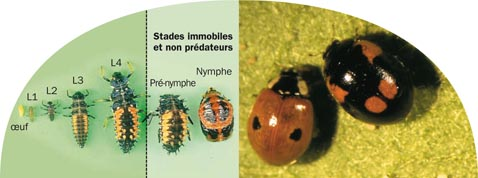 cycle-larve-coccinelle-nymphe